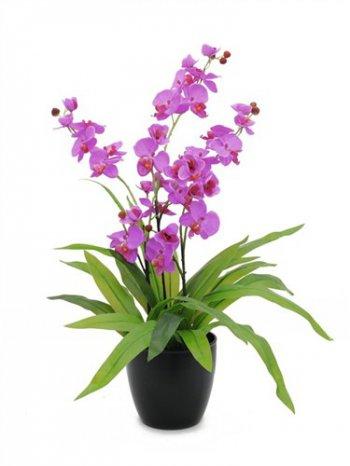 Orchidej nachová, 80 cm - 3 roky záruka